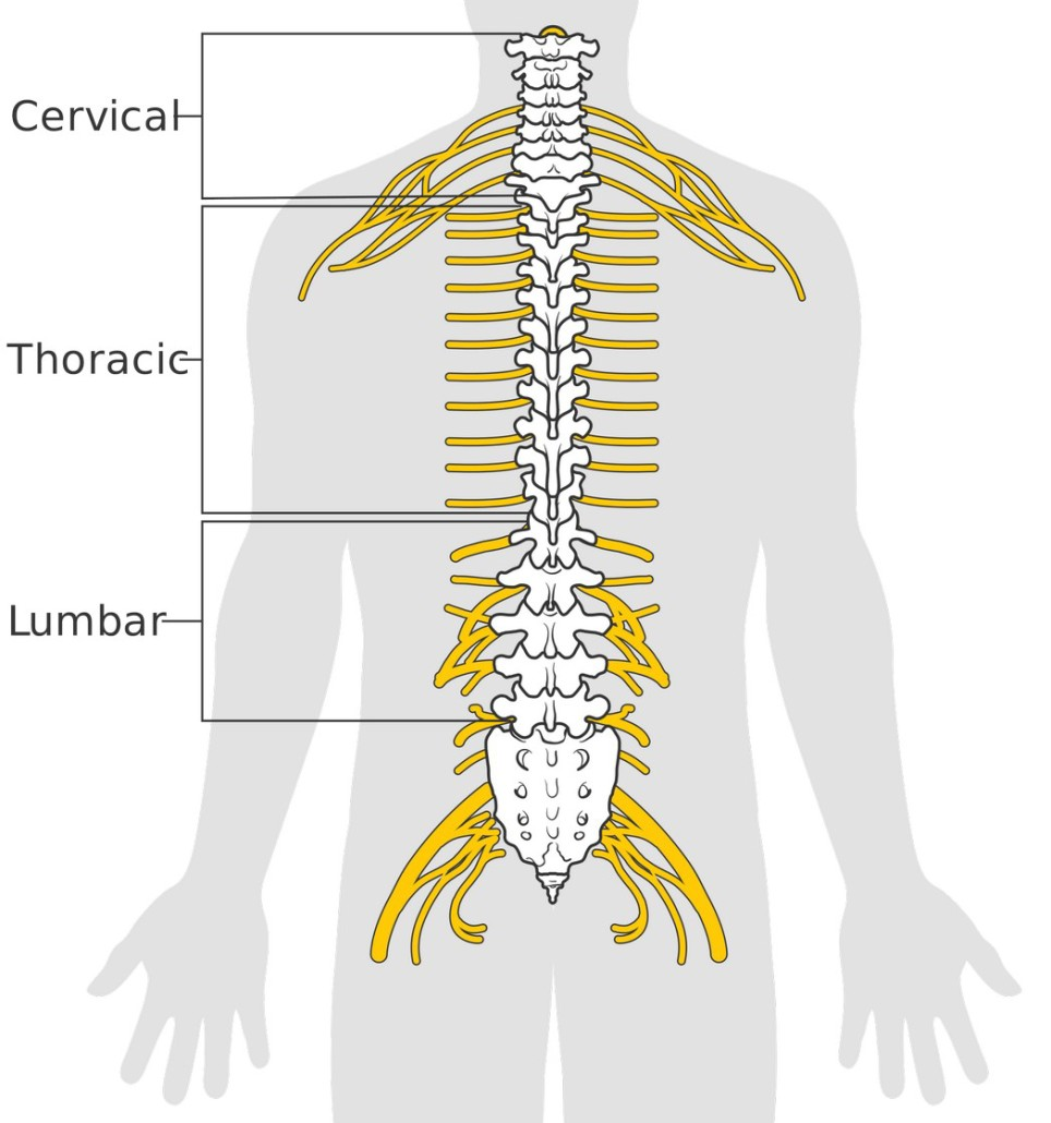 Diagram_of_the_spinal_cord_CRUK_046