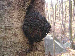 Chaga - amazing remedy for cancer and more