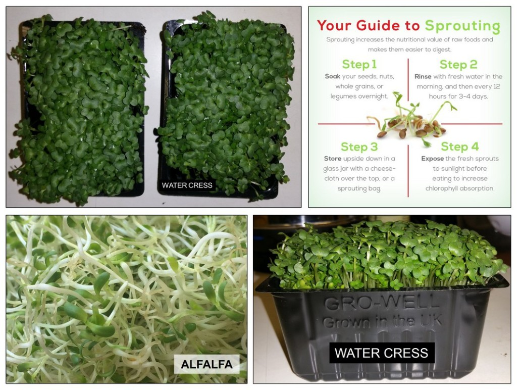 Sprouts Alfalfa Watercress