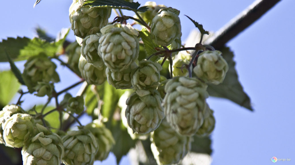Hops help reduce sexual cravings AND CHRONIC MASTURBATION