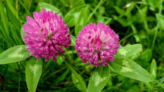 Red Clover for Breast Cancer, Prostate Cancer & Menopause