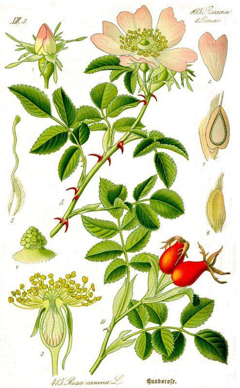 Rosehip (Rose Hip)
